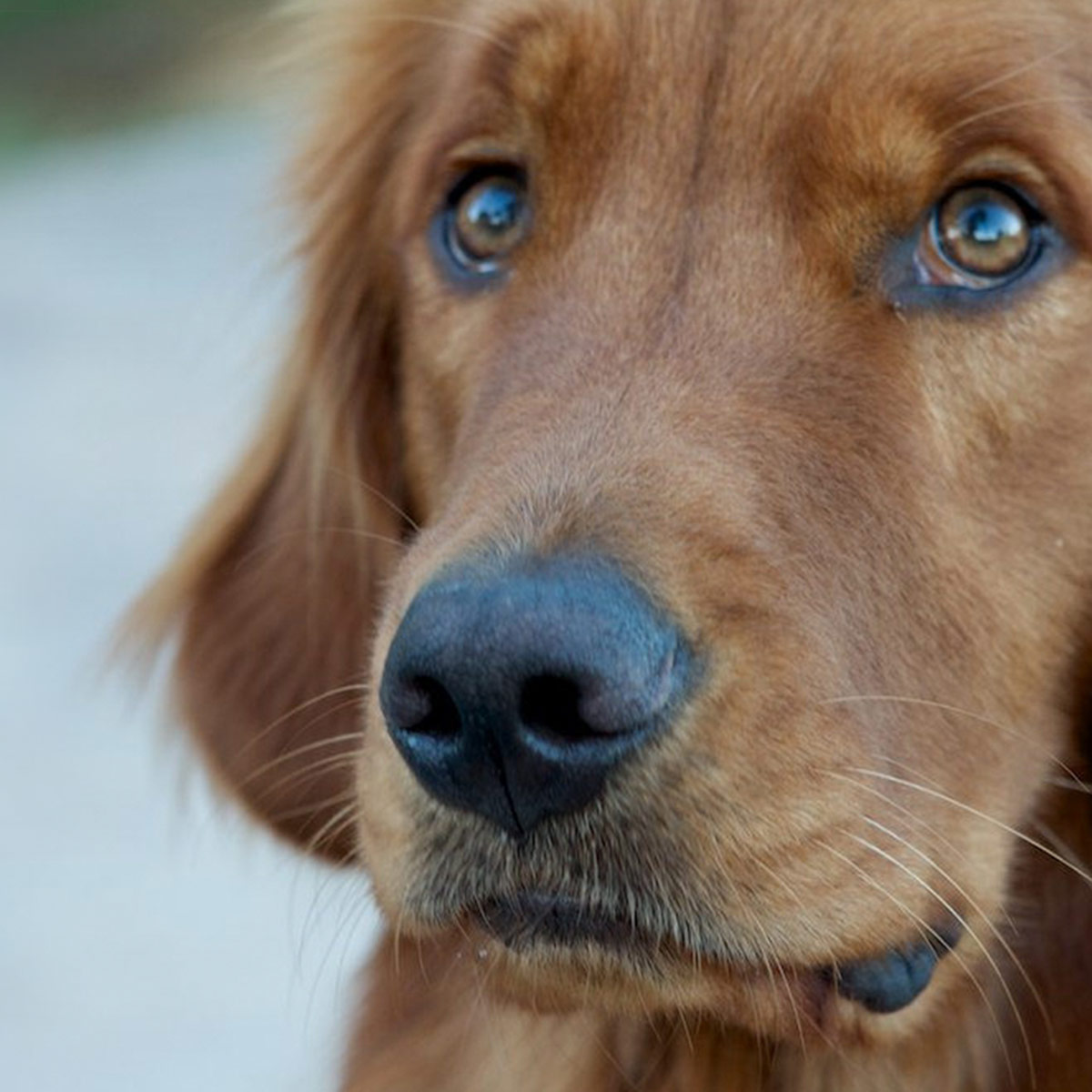 close up of golden retriever