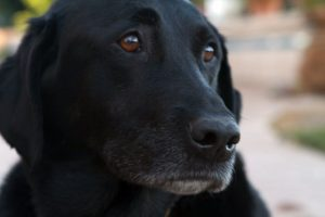 black lab face close up