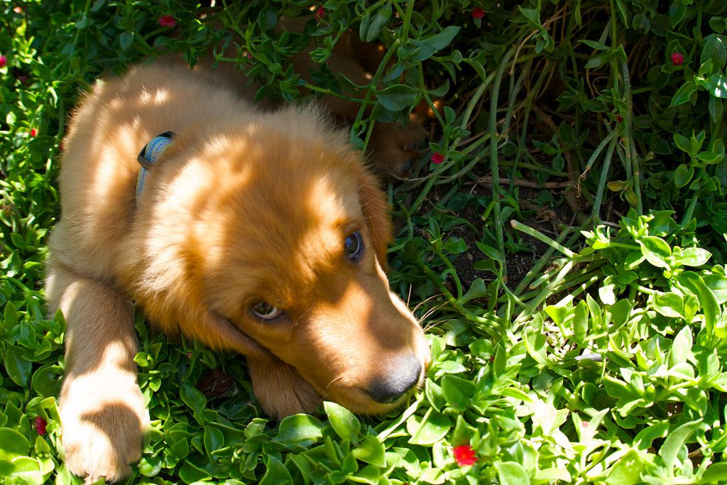 Golden puppy laying in grassy area