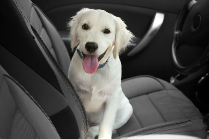 dog sitting in drivers seat of car