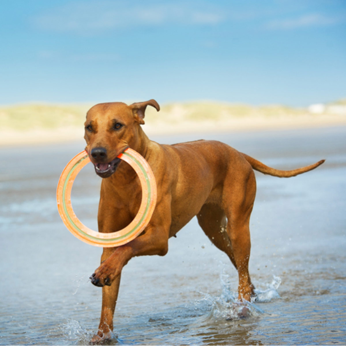 dog with a frisbee on the beach