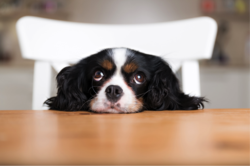 small dog with head on kitchen table