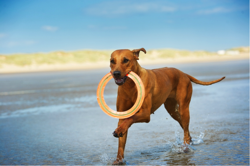 dog running with frisbee on beach