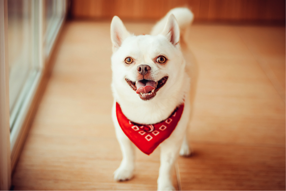 small white dog in red bandana