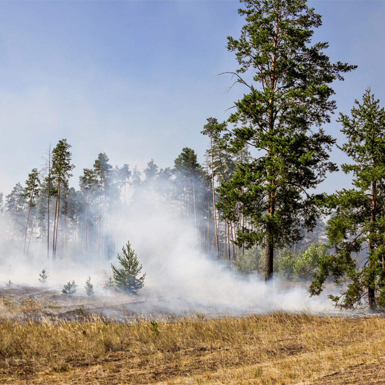 A wildfire in forest due to continuous dry weather in summe