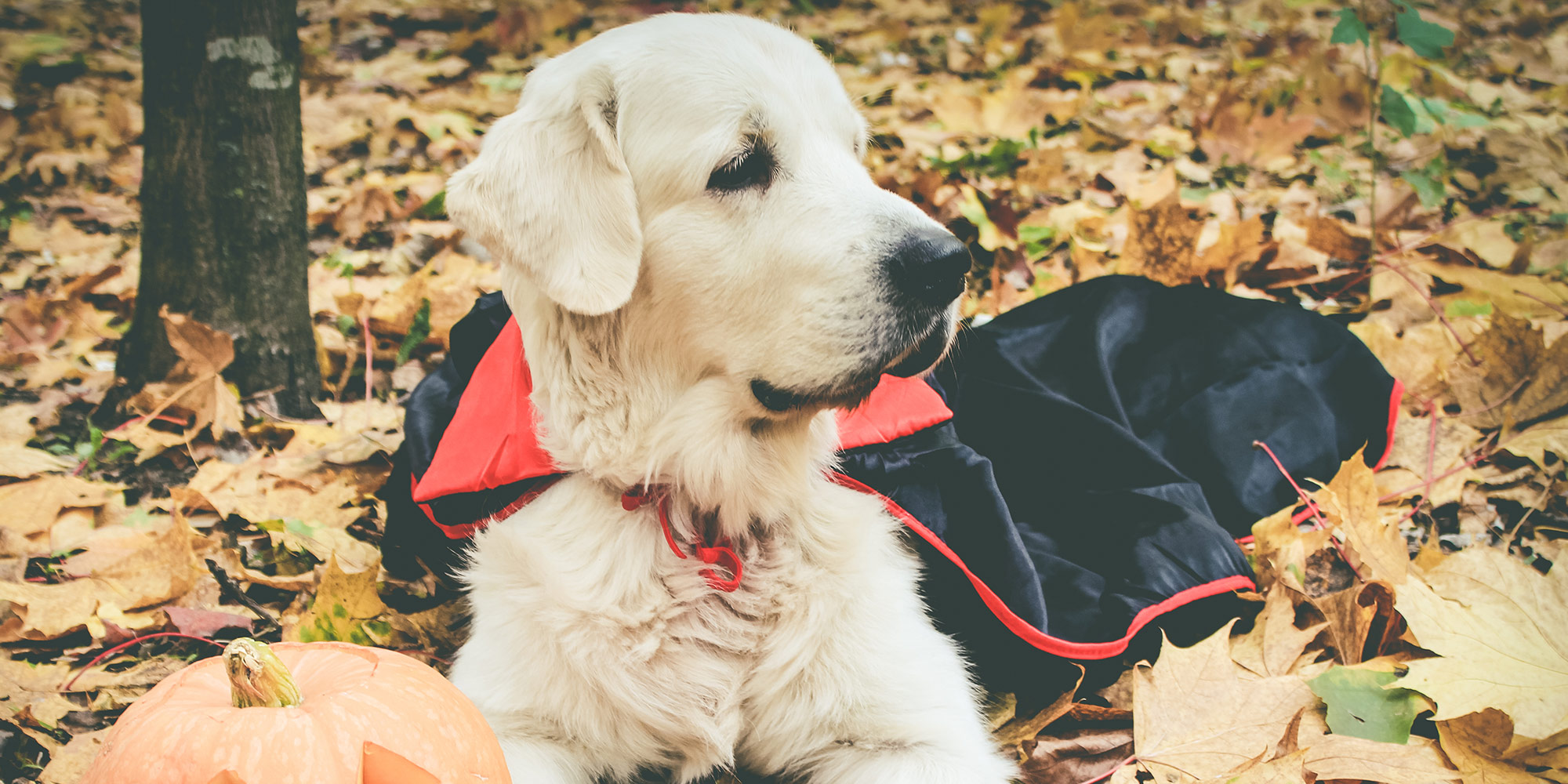 golden retriever in Halloween costume