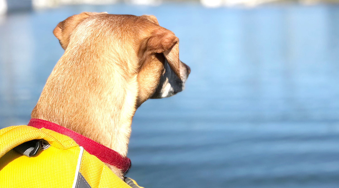 dog in a life vest looking out over water