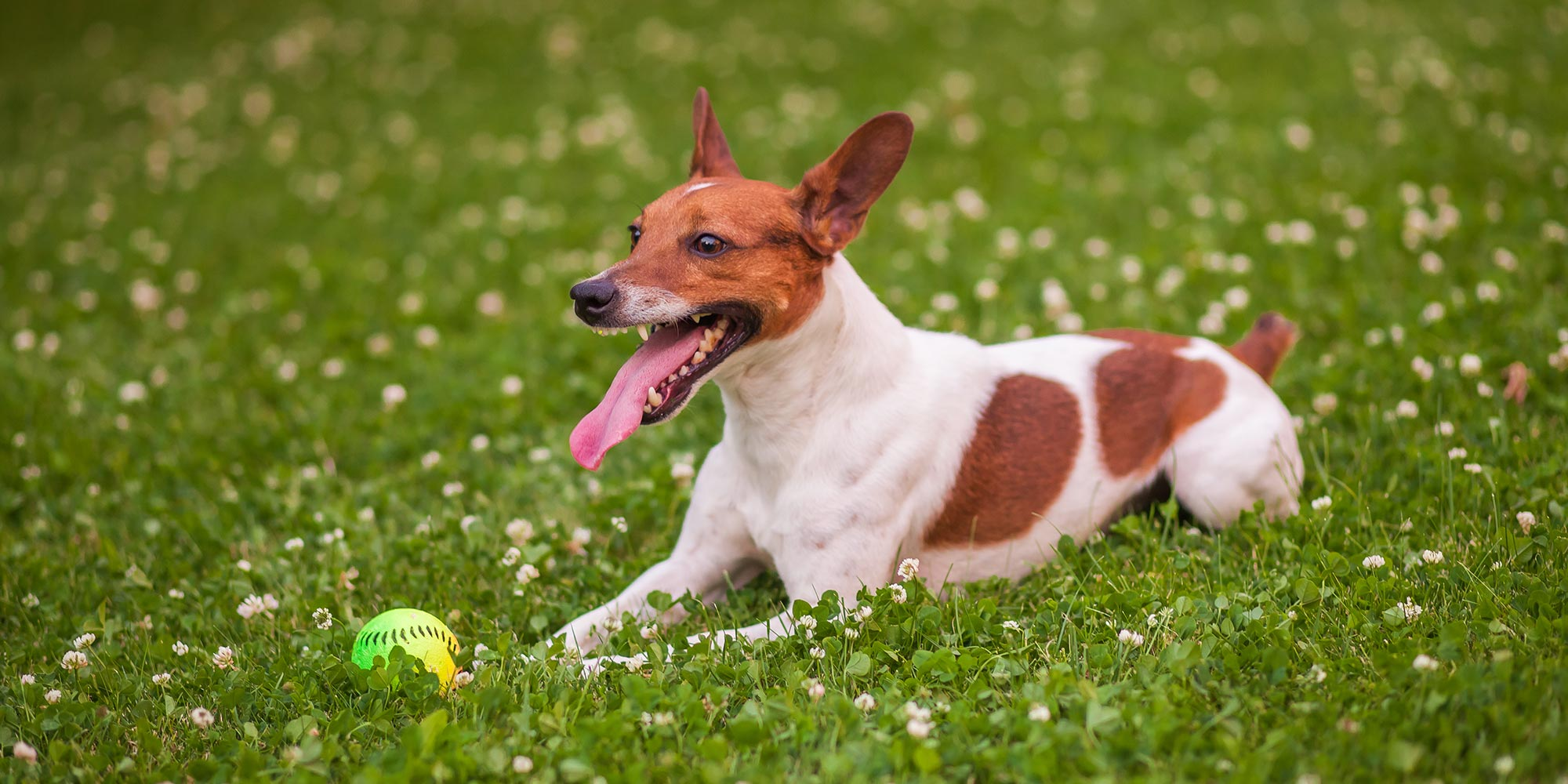 dog playing with ball in the grass